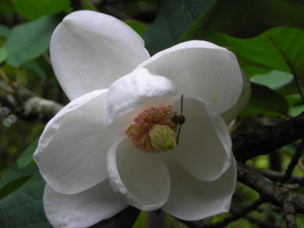 オオヤマレンゲ