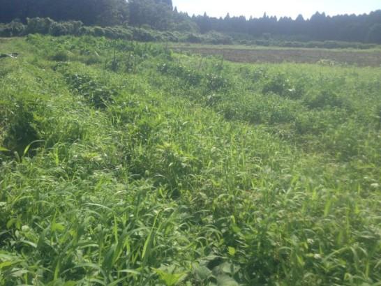 夏野菜 草刈り前
