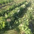 夏野菜 草刈り後
