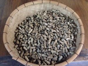収穫の秋 ピーナッツ