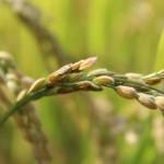 初めての稲作